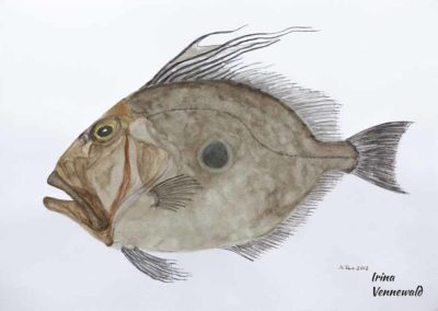 Petersfisch F22